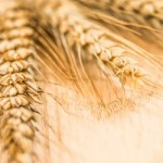 wheat_XSmall copy
