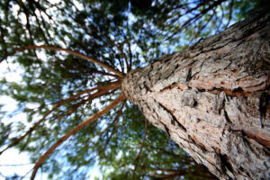 French Maritime Pine Bark Extract