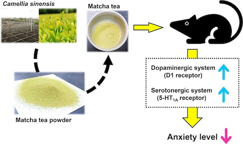 matcha tea decreases anxiety